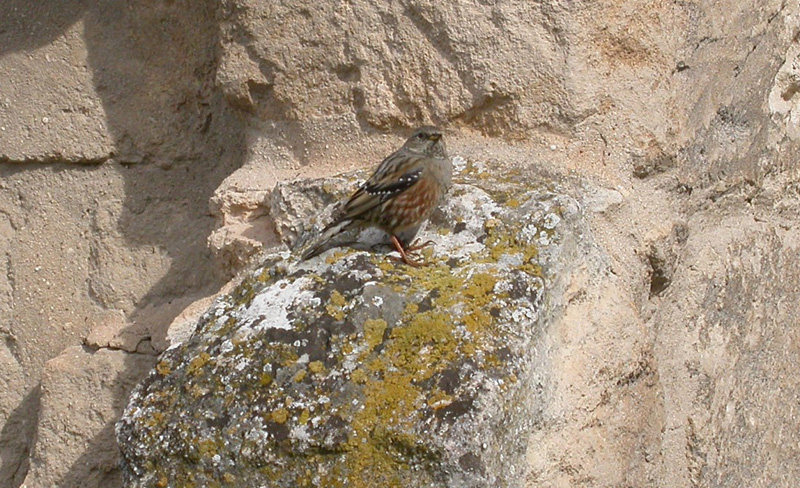 Alpine Accentor, Les Baux © Ken Hall (click for larger image)