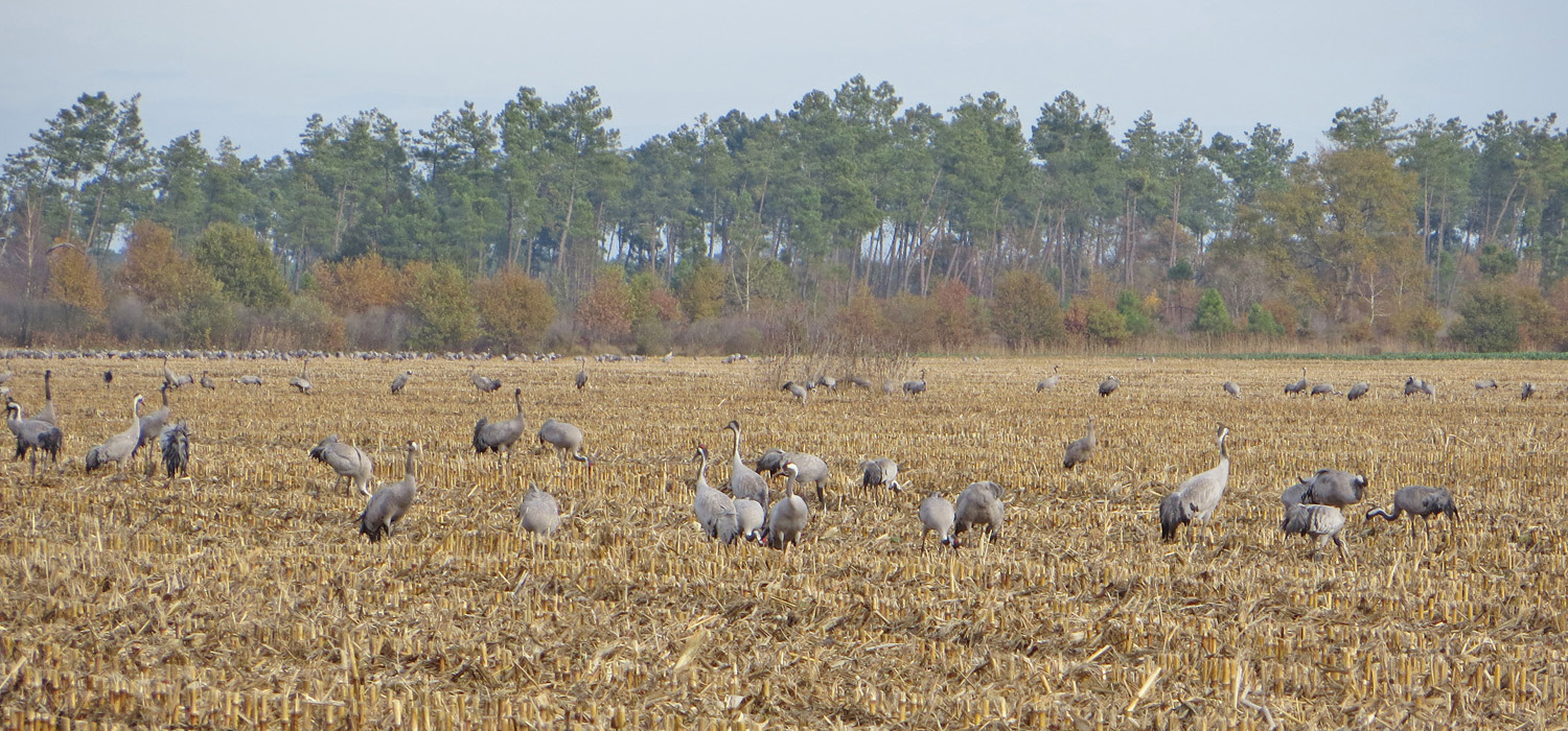 Cranes feeding in fields near Arjuzanx © Ken Hall (click for larger image)