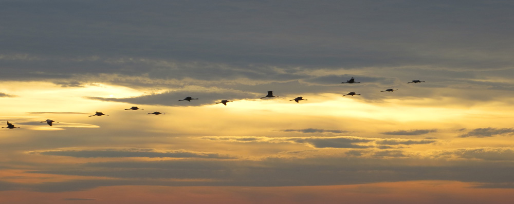 Cranes arriving to the roost at Arjuzanx © Ken Hall (click for larger image)