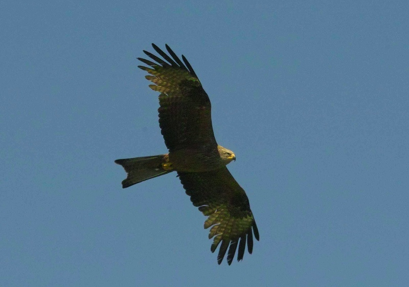 Black Kite © Derek Moore (click for larger image)