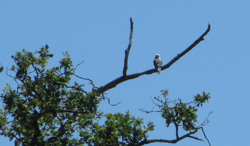 Black-shouldered Kite © Ken Hall (click for larger image)