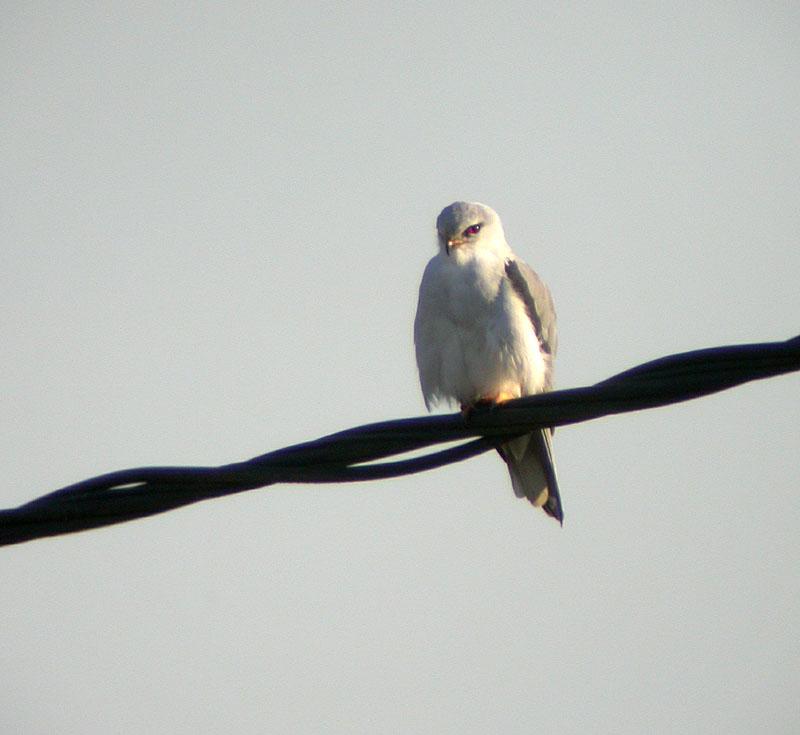 Black-shouldered Kite © Ken Hall