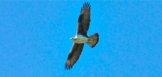 Adult Bonelli's Eagle from Languedoc-Roussillon population © Alan McBride (click for larger image)