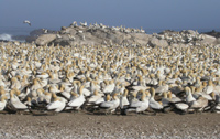 Cape Gannets at Lamberts Bay