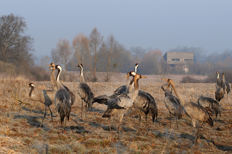 Cranes at the Ferme aux Grues, with hide in the background © Yves Prud'homme (click for larger image)