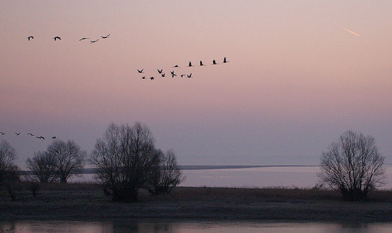 Cranes at dawn at Lac du Der © Francis Desjardins (click for larger image)