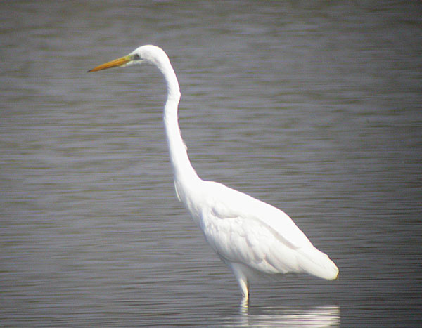 analysis of a white heron Sarah orne jewett first published a white heron in her 1886 collection, a  white heron and other stories this short story tells the tale of what happens  when.