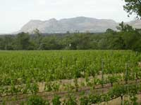 Groot Constantia vineyard