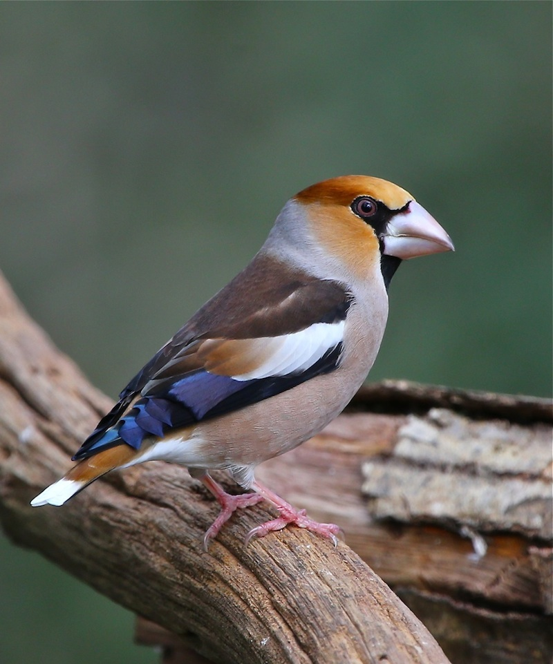 Hawfinch © John King (click for larger image)