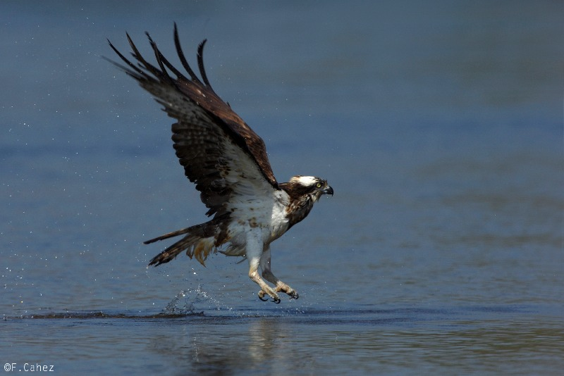 Osprey rising from the water © Fabrice Cahez (click for larger image)