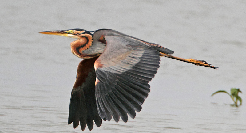 Purple Heron © Gary Thoburn (click for larger image)