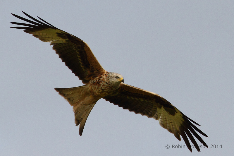 Red Kite, May 2014, Somerset © Robin Morrison (click for larger image)