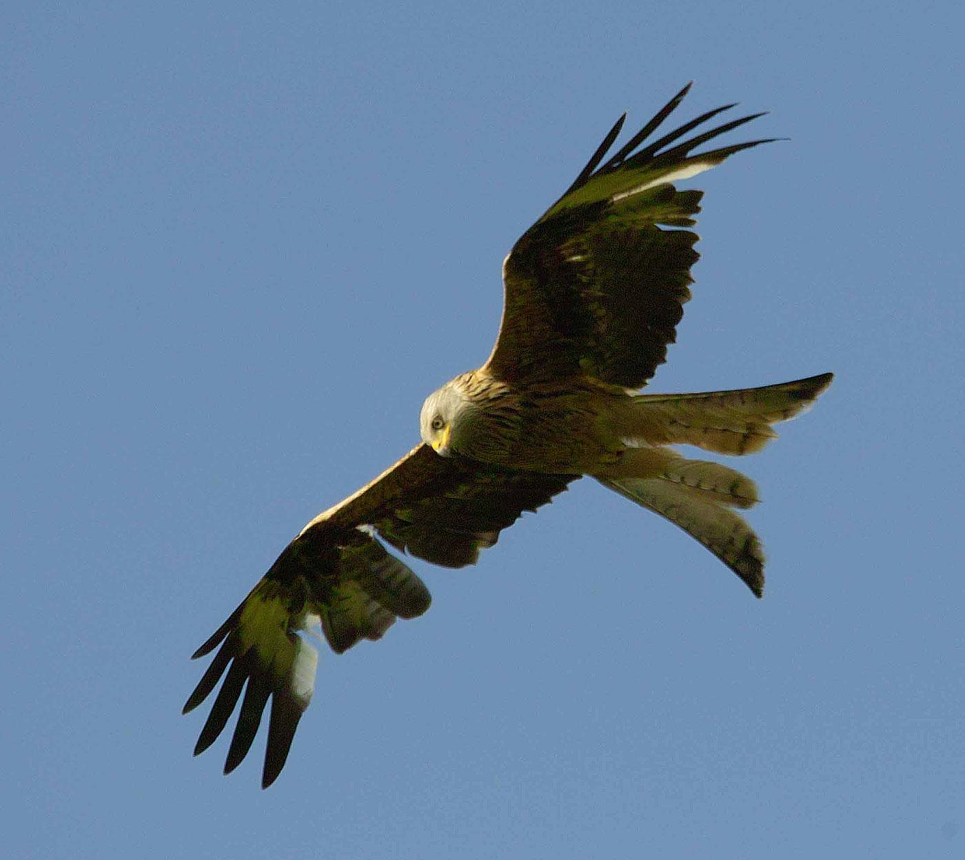 Red Kite © Derek Moore