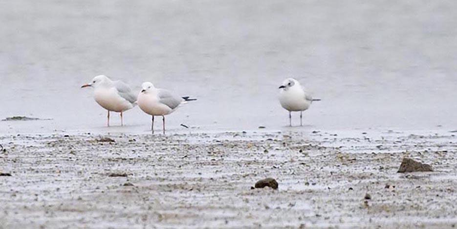 Slender-billed Gulls © David Wilson