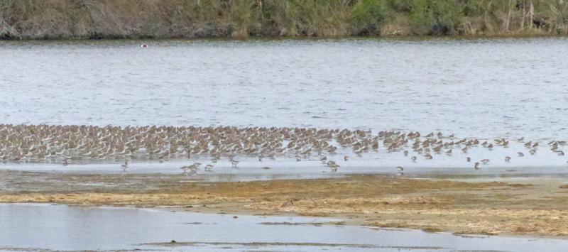 Waders on reserve at hide tide, mostly Dunlin © Ken Hall (click for larger image)