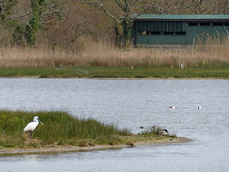 Spoonbill, Mallard and Shelducks at Le Teich, March 2016 © Ken Hall (click for larger image)