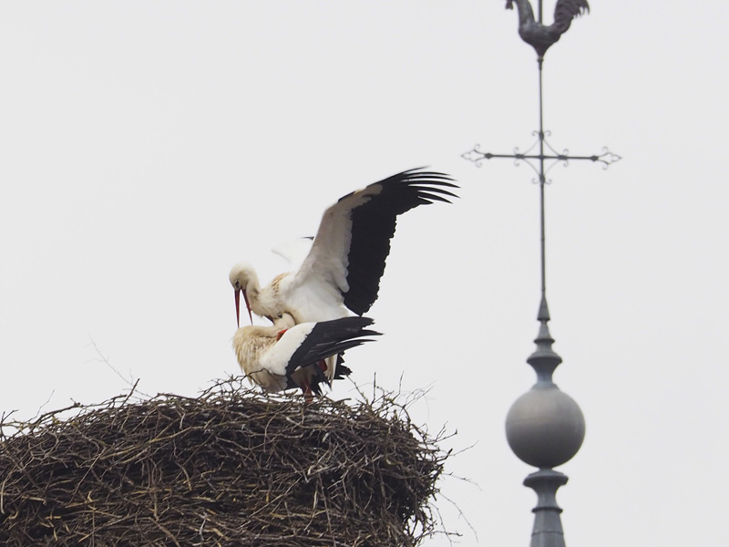 White Storks on nest in Champagne-Ardenne, Feb. 2015 © David Wilson (click for larger image)