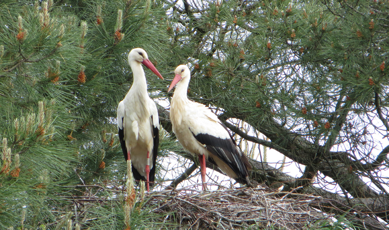 White Storks at a French nest © Ken Hall (click for larger image)